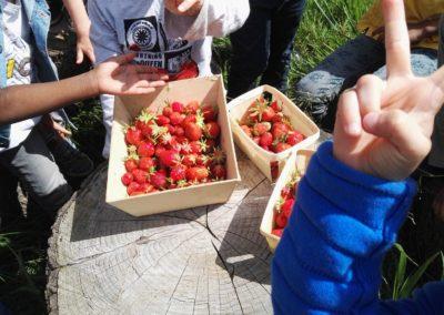 IC-Ronchin_Récolte-fraises